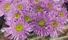 #Chrysanthemum 1head #Morgana; Available at www.barendsen.nl