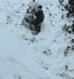 Panda Tumbling Down The Hill