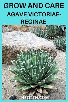 "Agave victoriae-reginae ""Queen Victoria Agave,"" ""Royal Agave"""