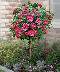 Double Red Hardy Hibiscus Tree.. Want this near the house with mulch and flowers