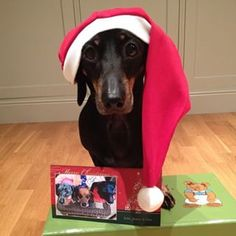 This doxie who is proud of his first holiday card. | Community Post: 20 Adorable Dachshunds Who Are Totally Ready For Christmas