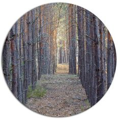 """DesignArt 'Slender Pine Tree Forest Photography'  Photographic Print on Metal Size: 38"""" H x 38"""" W x 1"""" D"""