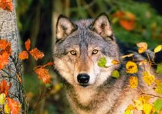 Misterious eyes - look, misterious, eyes, forest, branches, autumn, scary, trees, fall, woods, animal, beautiful, wolf, wolves, lonely, grey, wild