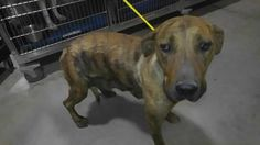 Animal ID 35263301 Species Dog Breed Terrier, American Pit Bull/Mix Age 5 years 1 month 12 days Gender Female Size Large Color Brindle Spayed/Neutered Site Department of Animal Services, City of El Paso Location Kennel A Intake Date 5/3/2017