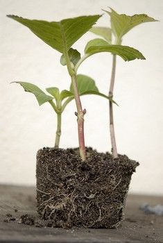 C'est en été (au mois d'août) que se bouturent les hortensias, à partir de pousses de l'année issus de rameaux latéraux non fleuris...Facile à réussir à l'étouffée dans un substrat léger (type terreau à semis ou terreau additionné de sable de rivière tamisé)... Mode d'emploi (très simple ! ) http://www.jardipartage.fr/bouturer-un-hortensia/