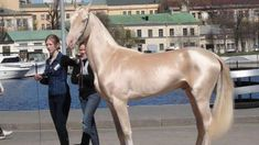 Rare Horse Given The Title Of 'World's Most Beautiful Horse' And It Is Nothing Like We've Ever Seen Bеfоrе (VIDEO) #horses #animals #pets