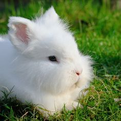 The rabbits breeds known for producing angora wool are English, French, Satin, Giant, and German.