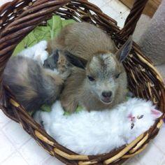 Little goat & kittens.... Too cute!