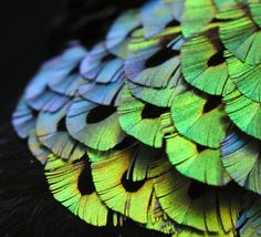 iridescent feathers of Male bird of paradise