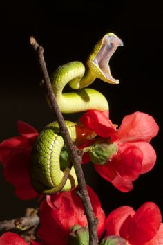 Bamboo viper - venom is said to kill a human before taking two steps