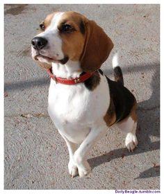 A Graceful Beagle Dog