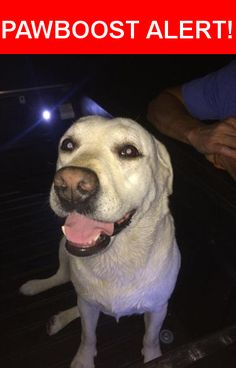 Is this your lost pet? Found in Magnolia, TX 77354. Please spread the word so we can find the owner!  White Lab   Lake Windcrest, Magnolia, TX