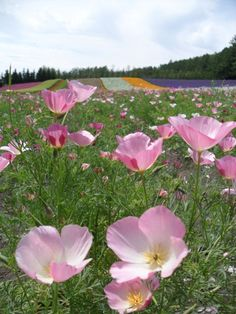 Farm Tomita, Hokkaido