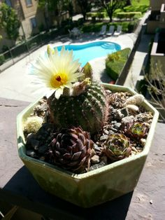 Blooming cactus garden in antique pot