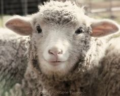 Now this is a contented sheep! :)