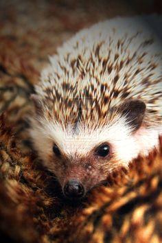 African Pygmy Hedgehog - Bing Images
