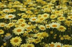 Image result for Anthemis EC Buxton