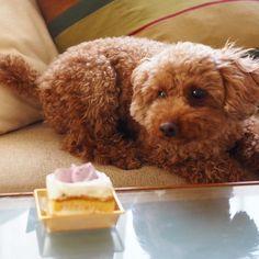 #wooftoday #toypoodle #dog #poodle #doginstagram #ilovemydog #dogstagram #mydogiscutest #dogsofinstagram #cutedog #smalldog #犬 #トイプードル #follow