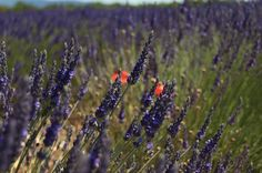 Couleurs et parfumes de Provence!