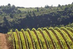 Rustenberg Estate, Cape Wineries, Cactus Plants, South Africa, Vines, Vineyard, Cape, African, Adventure, Travel