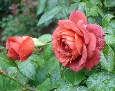 Rose 'Hot Cocoa' (floribunda) - yup.  have this one too.