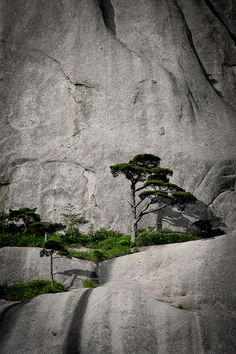 holding in, roots digging in. Huangshan Arthur K.H. Ng Flickr 2010 Anhui Province China