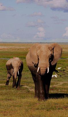 Safari Kenya Amboseil National Park Elephant and baby