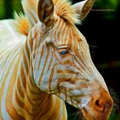 Born in Hawaii, zoe, only known golden zebra in captivity