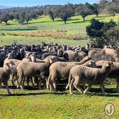 Oveja merina en primavera Spain, Horses, Animals, Sheep, Spring, Animales, Animaux, Sevilla Spain, Animal