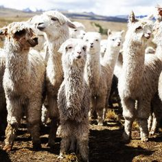Alpacas in the high Peruvian mountains, close to Tinki. 4 hours outside of Cusco. @info_peru