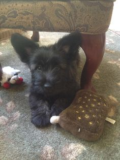 Our beautiful baby Skye Terrier, Maisie!