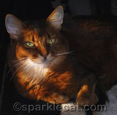 Beautiful cat and the lighting just brings it out more.  Her name is Sparkle.