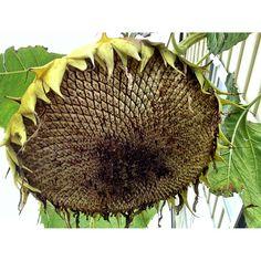 Ripening sunflower seeds