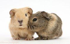 Baby Guinea pigs.