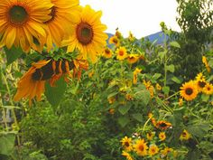 and even more sunflowers