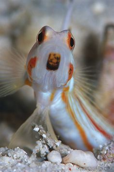 *goby