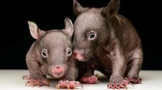 Baby orphaned Wombats at Healesville Sanctuary, named Hamish and Andy