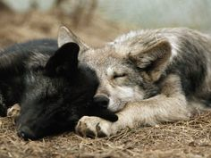 Two Sleeping Gray Wolf Pups Photographic Print by Jim And Jamie Dutcher at Art.com