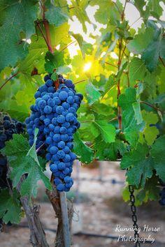 Grape Cluster, Har Bracha, Israel. Harvest again, fall 2013? Hopefully!