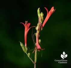 Flame acanthus attracts so many beneficials, including hummingbirds! Central Texas Gardener.