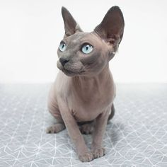 Azizi the blue sealpoint sphynx cat.