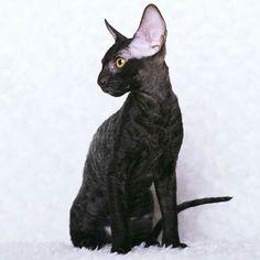 Black Cornish Rex Kitten Cornish Rex Kitten, Cats And Kittens, Bengal Kittens, Cute Black Kitten, Devon Rex Cats, Magic Cat, Sphynx Cat, Cute Animal Pictures, Beautiful Cats