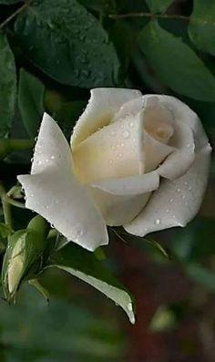 Beautiful Rose Flowers, Beautiful Gardens, Rose Reference, Rose Flower Wallpaper, Most Popular Flowers, Rosa Rose, Skulls And Roses, White Gardens, Botanical Flowers