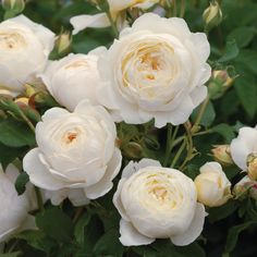 "'Claire Austin' 'Claire Austin' (Ausprior) has a strong myrrh fragrance with touches of meadowsweet, vanilla and heliotrope. David Austin Roses calls it their ""finest white rose to date."" It is named for David Austin's daughter Claire. Claire Austin Rose, Rosas David Austin, David Austin Rosen, David Austin Climbing Roses, Climbing Roses For Shade, White Climbing Roses, Climbing Flowers, Fragrant Roses, Shrub Roses"