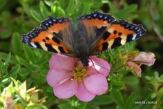 Small Tortoiseshell, Aglais Urticae, on Potentilla Fruticosa Princess, Summer 2013, in the Garden.