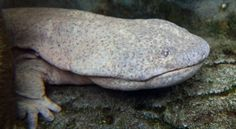 Chinese giant salamander - Pixdaus