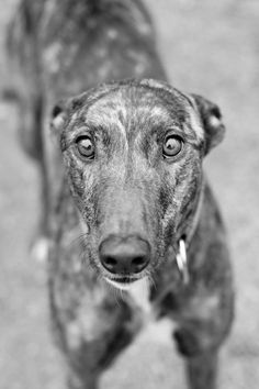 . . . Greyhounds Used in Racing. Read more at: http://www.onegreenplanet.org/news/photographer-raises-awareness-for-greyhounds/
