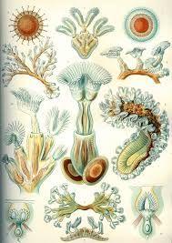 Image result for ernst haeckel radiolaria prints