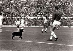 England goalkeeper Ron Springett moves to eject a stray dog that had wandered on to the pitch during the 1962 World Cup quarter-final in Vina del Mar. Eventually, Jimmy Greaves, on all fours, managed to pick it up. The dog reportedly urinated on Greaves before being taken away. There are various suggestions that Brazil great Garrincha adopted the dog after the game, although many believe this to be nothing more than an amusing myth. One thing is for sure - Garrincha scored twice that day…