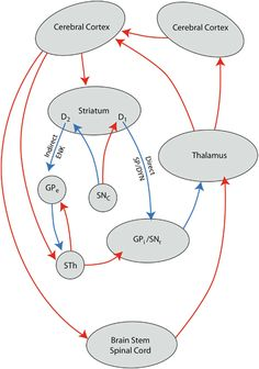 My favorite diagram of the basal ganglia.  Somehow this one looks more approachable than other versions.